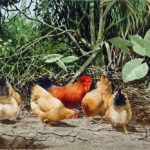 Watercolour Painting of Wildlife of Kampong Chickens 2000